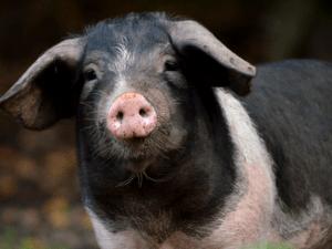 Porco (cerdo) celta