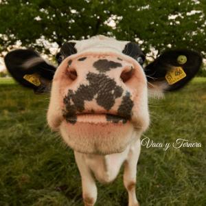 vaca y ternera gallega 1 alimentación Gallega (1)